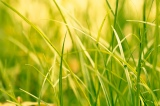 A blade ofgrass